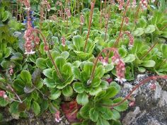 """Saxifraga x urbium """"London Pride' Very small single, pale pink flowers are carried on slender, branched stems to form a mist above a mat of thick, evergreen weed suppressing leaves. Prefers moist soil, part shade. Z5-9"""