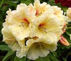 Rhododendron 'Papaya Punch'