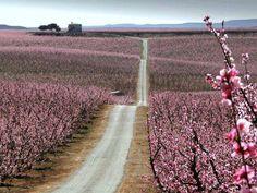 Just beautiful...Flowering Almond