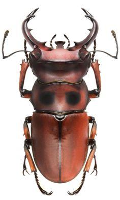 Homoderus bellicosus