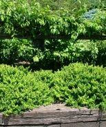 Monrovia Green Hornet Barberry (full sun, 11/2' hi to 3'ft wide)