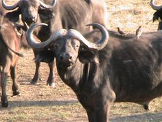 This buffalo seemed to want me to know that power is not force but presence!