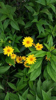 Heleopsis Summer Sun