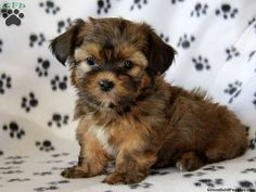 Titus, Shorkie puppy for sale from Paradise, PA