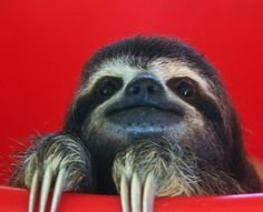 """awwcutelittleanimals: """" Baby Sloth in a Bucket! Happy Animals, Cute Baby Animals, Animals And Pets, Funny Animals, Adopt A Sloth, Baby Sloth Pictures, Pictures Of Sloths, The Zoo, Pet Dogs"""
