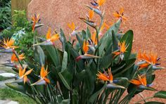 How to Grow and Care for Bird of Paradise Flower