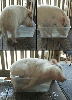 If it Fits, I Sit - The Pig Version