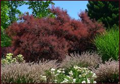 Love the Cotinus underplanted with grasses Photo: Sue Gaviller