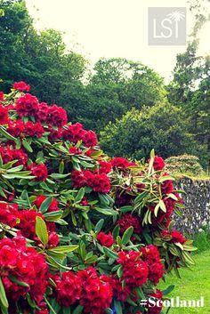 Kuvahaun tulos haulle rhododendron punainen