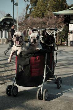 französische bulldogs
