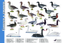 Foto Geese Breeds, Duck Breeds, Bird Identification, Different Birds, Nature Adventure, Bird Illustration, Fauna, Animal Rights, Creative Kids