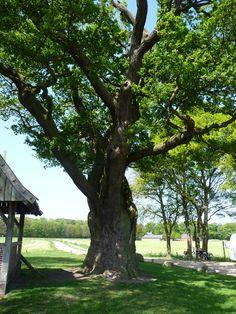 De kroezeboom in Fleringen. ´Eén van de oudste bomen van Nederland.