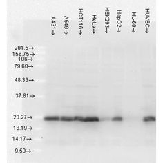 Mouse Anti-Hsp27 Antibody [5D12-A3] used in Western Blot (WB) on Human Cell lysates (SMC-161)