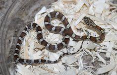 Caramel Het Amber Honey Corn Snake by Wards World Of Reptile Propagation - MorphMarket USA Snakes For Sale, Corn Snake, Live Animals, Ball Python, Propagation, Sharks, Reptiles, Caramel, Amber