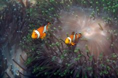 Nemo! I WILL scuba dive at the Great Barrier Reef someday!