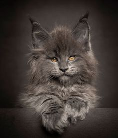 Majestic Maine Coon Cat
