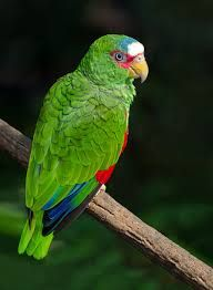 White-Fronted Amazon, Amazona albifrons, also called the Spectacled Amazon or White-Fronted Parrot, is the smallest Amazon Parrot.