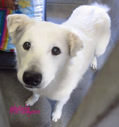 A4786116 My name is Bobby. I am a very sweet and gentle 7 yr old male white German Shepherd mix (he's much smaller than a typical GSD). My family left me here on Dec 22. available now 4275 Elton Street, Baldwin Park, California 91706 Phone 626 430 2378 https://www.facebook.com/photo.php?fbid=895809963764175&set=a.705235432821630&type=3&theater