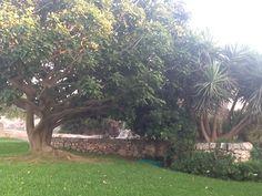 Eritrina tree
