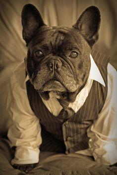'Bruiser', the handsome French Bulldog