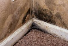Carpet Water Damage Mold The Carpet Be Saved? #carpet #water #damage #mold,black #mold #in #carpet,carpet #mold,health #risks #of #mold http://credit.remmont.com/carpet-water-damage-mold-the-carpet-be-saved-carpet-water-damage-moldblack-mold-in-carpetcarpet-moldhealth-risks-of-mold/  # Carpet Water Damage Mold Carpet water damage mold and black mold in carpet can develop anytime your carpet has Read More...The post Carpet Water Damage Mold The Carpet Be Saved? #carpet #water #damage…