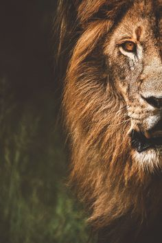 lsleofskye:He Was My Valentine Wild Animal Wallpaper, Lion Wallpaper, Animals Beautiful, Beautiful Creatures, The Sky Is Everywhere, Lion Photography, Phone Wallpaper For Men, Mickey Mouse Art, Lion Love