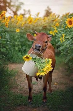 Dairy cow carrying flowers