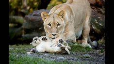 Funny pictures about 25 Of The Best Parenting Moments In The Animal Kingdom. Oh, and cool pics about 25 Of The Best Parenting Moments In The Animal Kingdom. Also, 25 Of The Best Parenting Moments In The Animal Kingdom photos. Animals And Pets, Baby Animals, Cute Animals, Wild Animals, Funny Animals, Animal Babies, Beautiful Cats, Animals Beautiful, Beautiful Images
