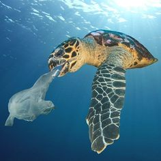 This turtle is confused. It thinks that this plastic bag is fish to eat. As soon as he eats the bag he'll start choking and suffocate or die. Help save the turtles today! 4 Oceans, Save Our Oceans, Ocean Pollution, Plastic Pollution, Save Our Earth, Save The Planet, Save The Sea Turtles, Save Environment, Trash Art