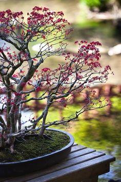 Maple Bonsai, japanese garden in Parc Albert Kahn, Paris by l_fabinou  #JapaneseGarden