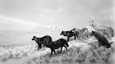 Listen to 'The Great Animal Orchestra' - The New York Times