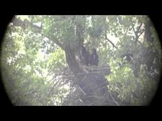 Decorah Eagles, 201305-19 ,Shaking the rain off, Hanging out with the siblings - YouTube