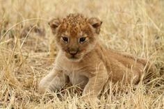 Filhote de Leão em zoológico na Tanzânia.