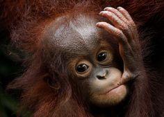 Khansa, 46. orangutaní mládě narozené v singapurské ZOO. | na serveru Lidovky.cz | aktuální zprávy