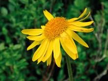 Die Arnika (lat. arnica montana) wird in der Naturheilkunde zur Entspannung der Muskulatur eingesetzt.