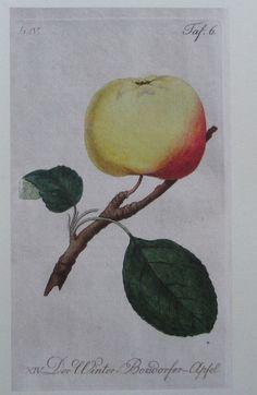 EDELBORSDORFER Nachdruck Druck print Obst Pomologie Apfel | eBay