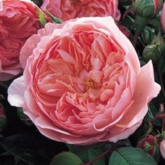 The Alnwick® Rose - David Austin Roses Alnwick Castle is the location of many Hogwarts scenes.