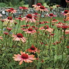 ECHINACEA SUNDOWN: This is one of the exceptional Big Sky™ series (E. paradoxa crossed with E. purpurea), bearing fragrant, russet-orange petals and reddish-brown central cones. These hybrids have all inherited the large green leaves, strong branching stems, wide flower petals, and profuse blooming tendencies of E. purpurea. Noteworthy characteristics: Attracts butterflies, bees, and birds in winter if cones are left on plant.