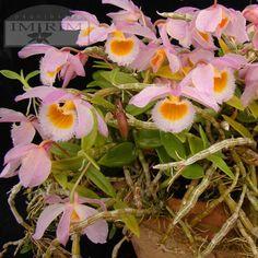 Dendrobium loddigesii - conseguii
