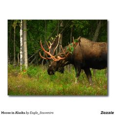 Moose in Alaska Postcard  #alaska, #moose, #animal, #wildlife, #antlers, #bull, #plants, #grass, #country, #countryside, #rural, #forest, #trees, #usa, #america #postcard