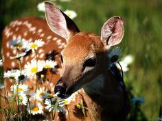 doe deer - Google Search