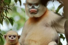 The tonkin snub-nosed monkey is endemic to Northeastern Vietnam, where there are fewer than 200 left. Heavy poaching and the destruction of habitat have diminished this monkey's population. STOP POACHING! Interesting Animals, Unusual Animals, Rare Animals, Animals Beautiful, Animals And Pets, Funny Animals, Wild Animals, Animals Amazing, Extinct Animals