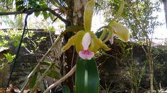 Minha nova orquídea