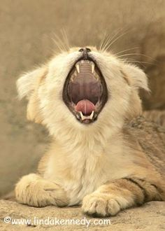 Baby Sand Cat Yawning Its.... so CUUUUUUUUUUUUTE