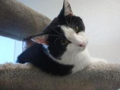 Scott: Domestic Short Hair, Cat; Pekin, IL - TAPS Animal Shelter.  Another of our FIV kitties.  Scott is a sweet, shy guy who LOVES to be petted and have his neck/chin scratched.....  <3