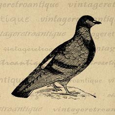 Rock Pigeon Printable Bird Digital Image Bird Graphic Antique Illustration Download Artwork Vintage Clip Art Jpg Png Print 300dpi No.2703 @ vintageretroantique.com #DigitalArt #Printable #Art #VintageRetroAntique #Digital #Clipart #Download