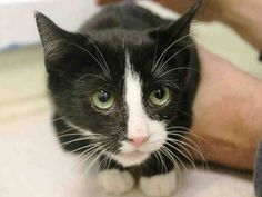 SAFE! TO BE DESTROYED 10/29/14 ** SECOND CHANCE FOR 6 MONTH OLD!! Marka does not seek attention from the assessor, becomes afraid as approach and retreats; i was able to pet and pick her up and no fractious behavior was display. ** Brooklyn Center  My name is MARKA. My Animal ID # is A1018239. I am a female black and white domestic sh mix.  I am about 6 MONTHS old.  I came in as a STRAY on 10/21/2014 from NY 11207, Group/Litter #K14-199189.