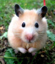 Hamster :3