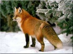 foxes - Google Search