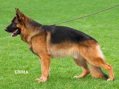 German Shepherd german-shepherd